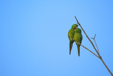 Breeding an Indian Ring-Necked Parakeets