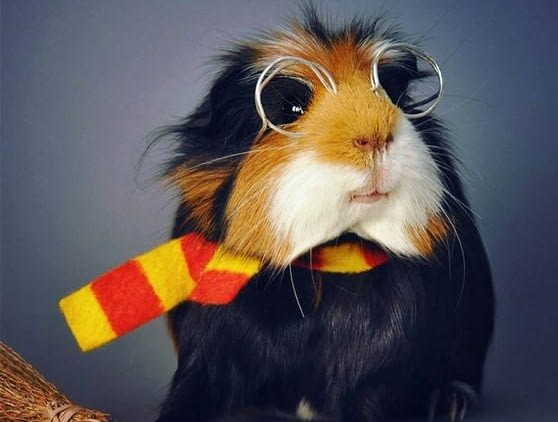 13 things you should know before getting guinea pig as a pet