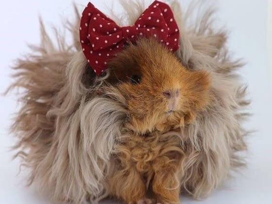 How to care for guinea pigs- in depth guide to guinea pig care