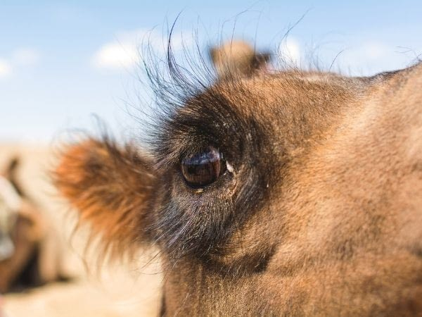 zoomed in view of camel eyes