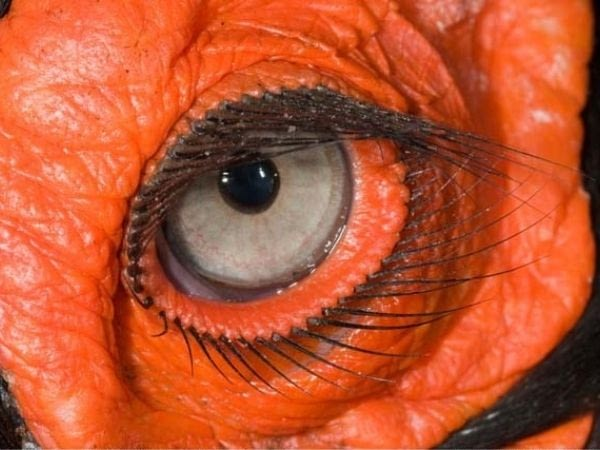 zoomed in view of ground hornbills eyelashes