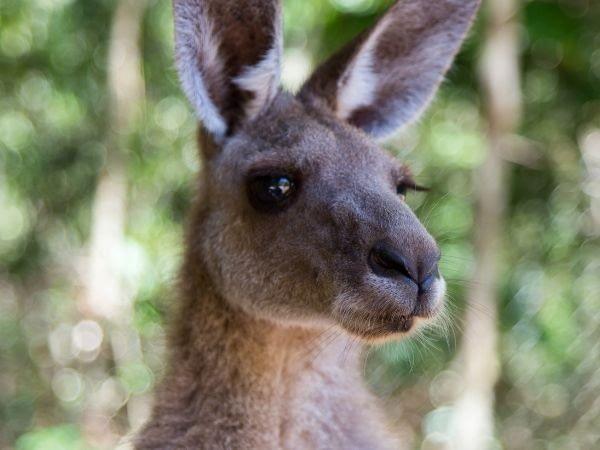 kangaroos have dense and long eyelashes