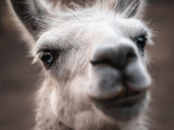 zoomed in view of llamas eyelashes
