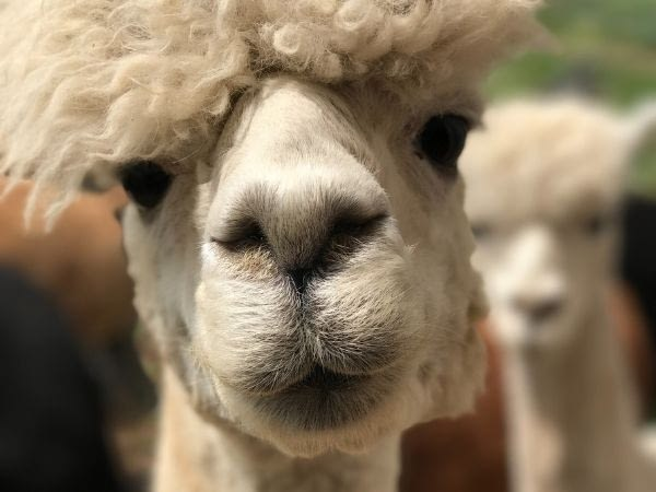 llamas have dense eyelashes to protect them from sand