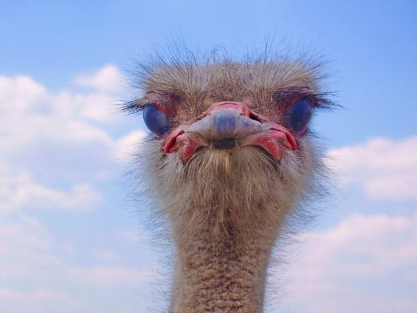 zoomed in view of ostriches eyelashes