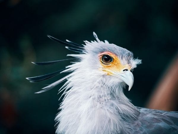 secretary bird has beautiful modified feather lashes
