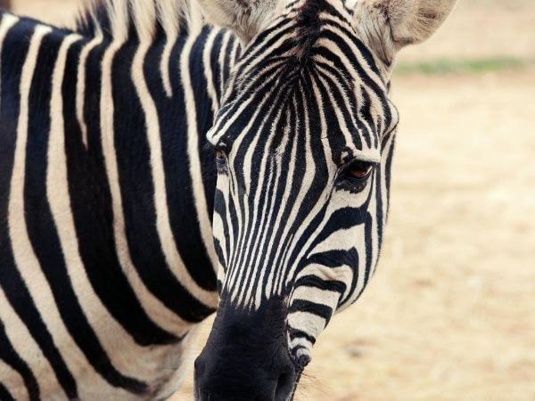 zebras have dense eyelashes