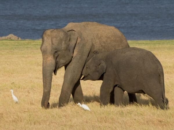 Wild Asian elephants in Minneriya National Park, Sri Lanka