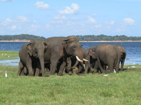 A large herd of Asian elephants can be seen in Kaudulla National Park in central Sri Lanka.