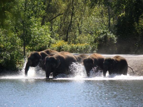 Asian elephants walking in Tad Lo river, Salavan Province, Laos
