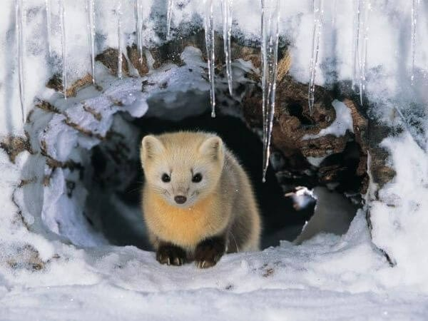 Japanese weasel sitting in an ice cave