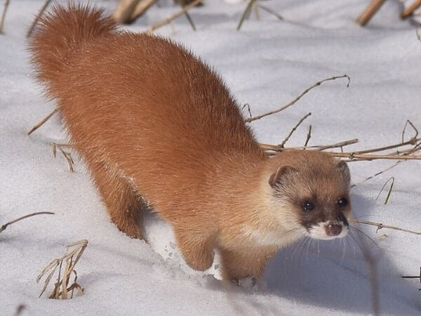 japanese weasel walking on snow
