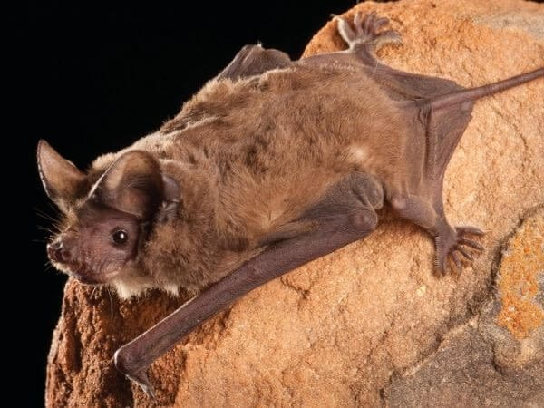 a researcher captured a mexican free tailed bat