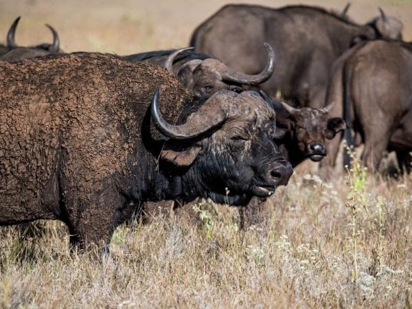 A herd of african buffaloes grazing in the grasslands