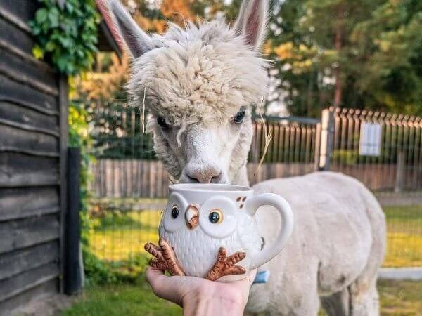 this cute alpaca drinking tea from an owl mug.