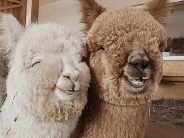 A pair of alpacas make the cutest couple.