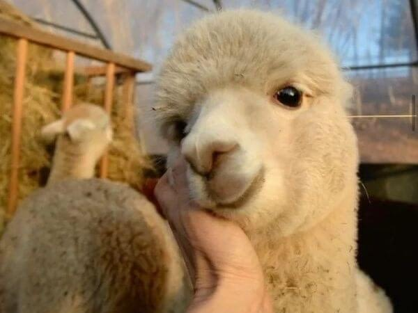 An alpaca laying its face on a human hand.