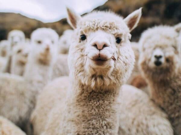 an alpaca herd