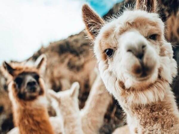 an alpaca looking into the camera.