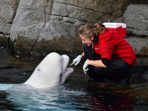 human caretaker playing with a beluga whale