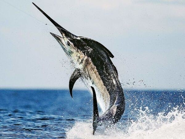 black marlin is the fastest fish in the world