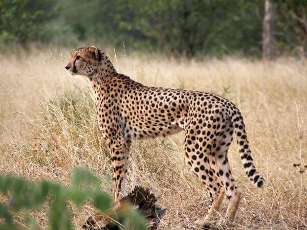Cheetah is one of the fastest animal in the world