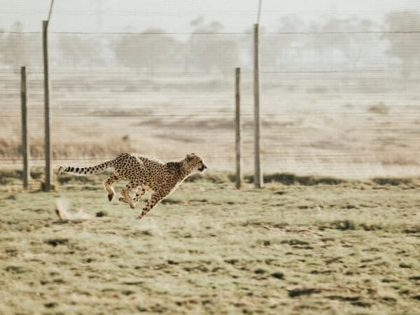 the lightly built, streamlined, agile body of the cheetah makes it an efficient sprinter