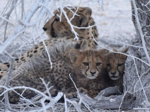 female cheetah with her cubs