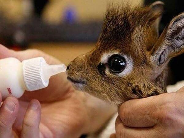 A baby dik dik being fed milk by its caretaker.