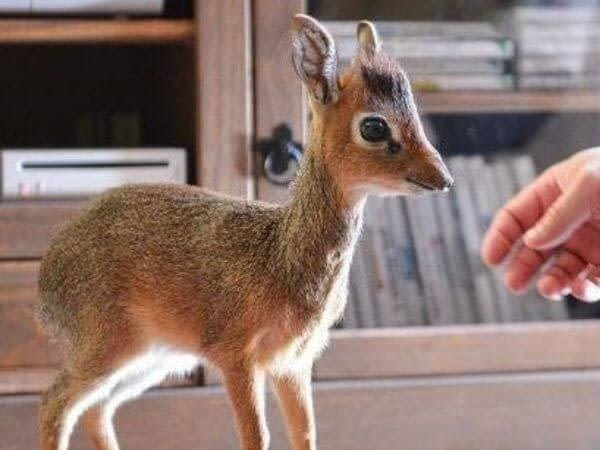 A baby dik dik is one of the cutest animals in the world
