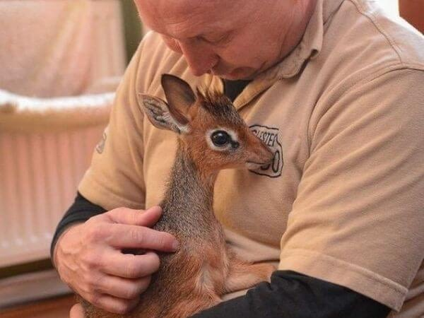 Dik dik hugging its caretaker
