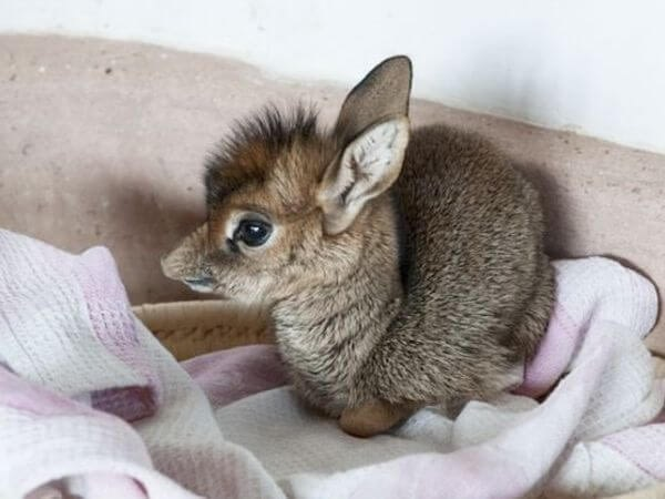 Baby dik-dik wrapped up in a blanket