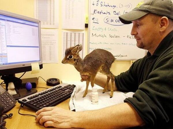 Dik dik standing in front of the screen, making it look too small
