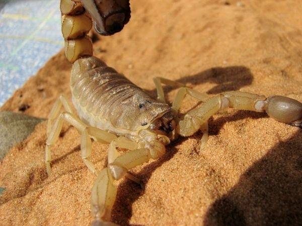 A yellow fat-tailed scorpion in a terrarium with Saharan sand