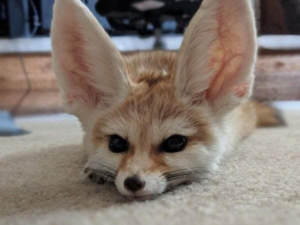 a fennec fox lying down trying to sleep