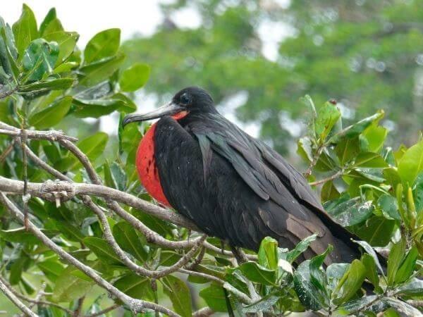 Male Frigate bird, Galapagos Islands, Ecuador