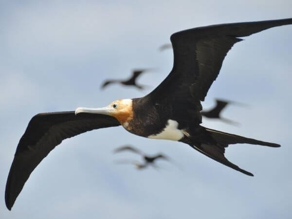 Juvenile frigate bird in flight in the Galapagos Islands