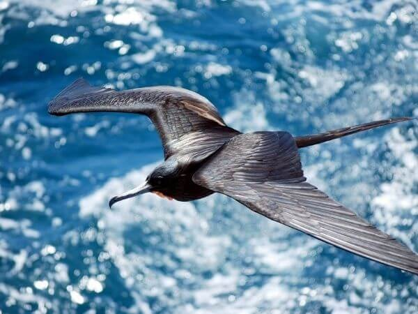 Male Frigate bird flying between the Galapagos islands of Santiago and Bartolome