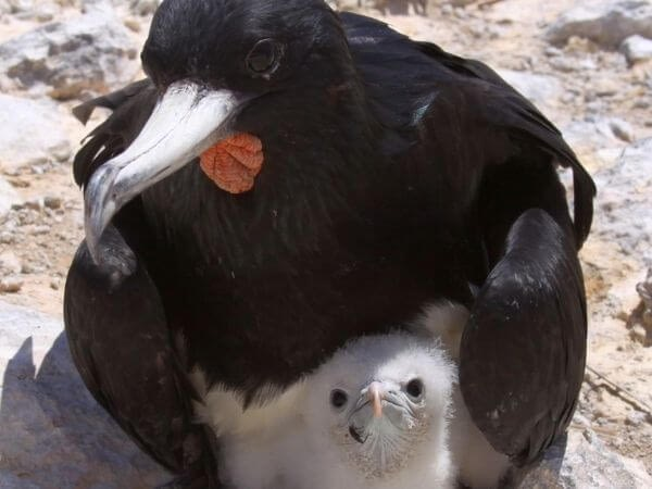 Frigate bird with his chick at Boatswain Bird Island, Ascension Islands