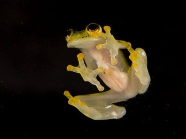 A reticulated Glass frog