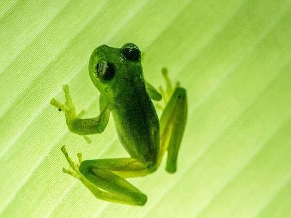 A Glass frog climbing a leaf near central Costa Rica