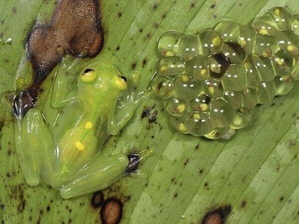 The Fleishman's Glass frog showing the background through its transparent flesh.