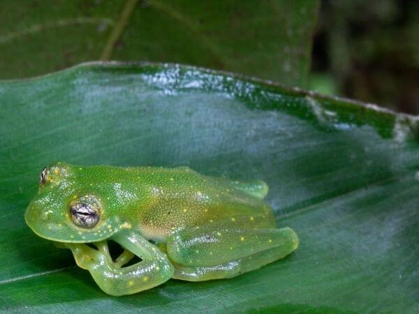 A granular Glass frog at the Monteverde Frog pond, Costa Rica