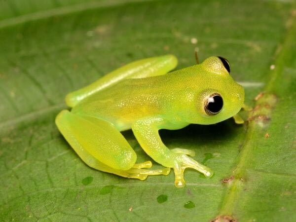 Spiny glass frog from Limon Province, Costa Rica.