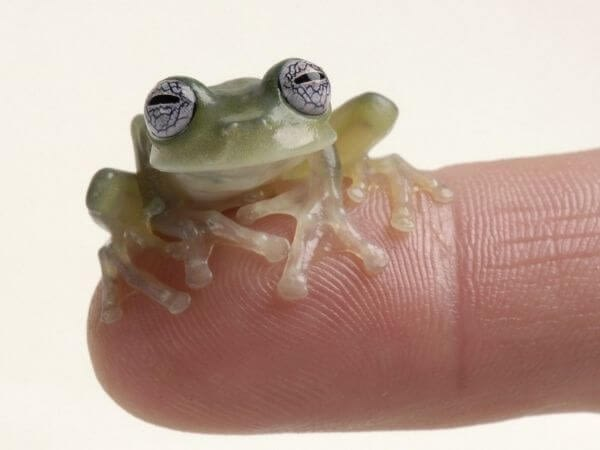 Some glass frog species are really tiny