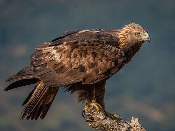 Golden Eagle in Czech Republic