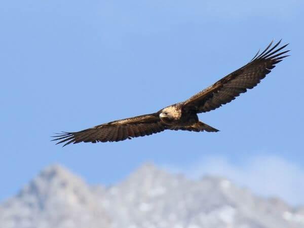 Golden eagle captured at Gilgit, Baltistan.