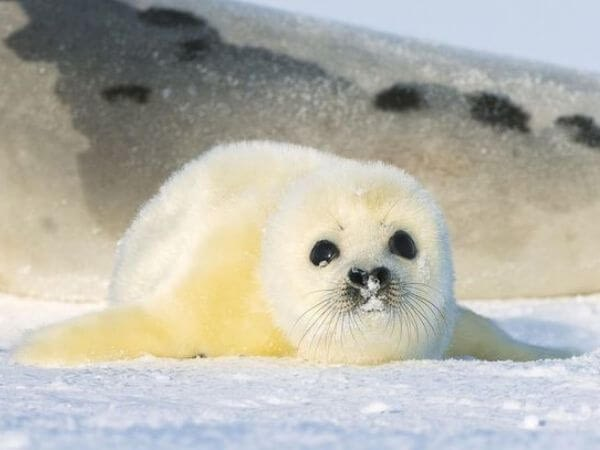 a baby harp seal lying on ice