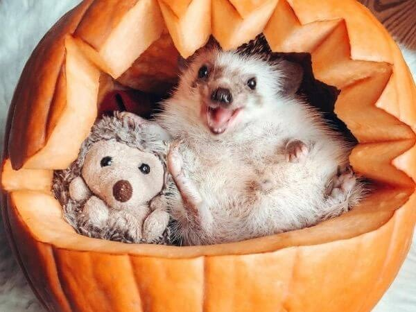 hedgehog posing for Halloween in a pumpkin