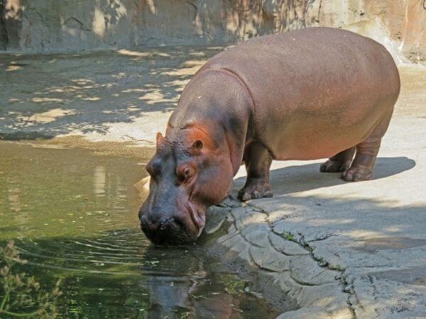 Hippopotamus drinking water in Oregon zoo, Portland